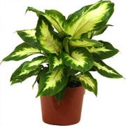 Bonsai Plants Supplier,  Air Purifier Plants Manufacturer,  Green India