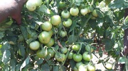 Tomato Saaho (TO3251)- 3500 Seeds